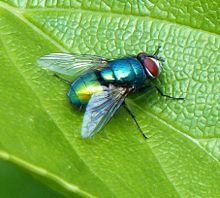 Green Bottle Fly Source: https://commons.m.wikimedia.org/wiki/User:Badobadop