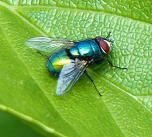 Green Bottle Fly Source: https://commons.m.wikimedia.org/wiki/User:Badobadop