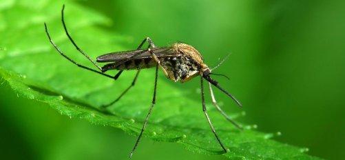 Mosquito Source: https://www.inc.com/minda-zetlin/effective-mosquito-repellents-mosquito-repellent-myths-non-working-mosquito-repellents.html